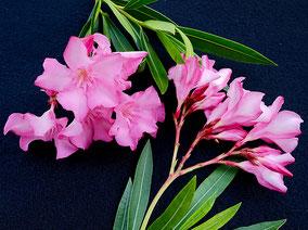 OLEANDER HAUS  Nerium Oleander   Trinity