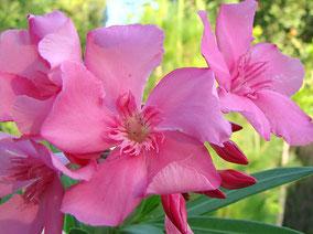 OLEANDER HAUS  Nerium Oleander Gotsis Phoibe