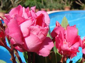 OLEANDER HAUS  Nerium Oleander Gotsis Megara