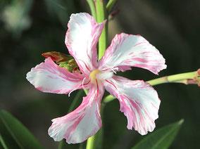 Oleander 'Kewpie' , Oleander Haus
