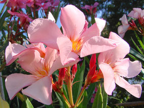 OLEANDER HAUS  Nerium Oleander Gotsis Aris