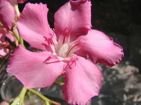 OLEANDER HAUS  Nerium Oleander Gotsis Astraios