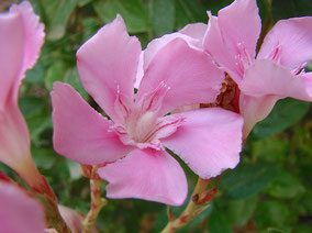 OLEANDER HAUS  Nerium Oleander Gotsis Learchos