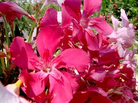 OLEANDER HAUS  Nerium Oleander Skylla
