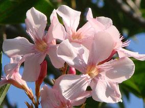 OLEANDER HAUS  Nerium Oleander Gotsis Thalia