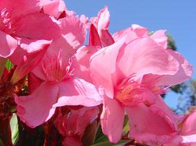 OLEANDER HAUS  Nerium Oleander Gotsis Pontos