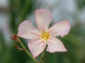 OLEANDER HAUS  Nerium Oleander   Agnes Campbell