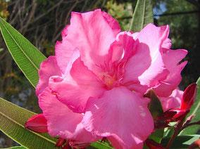 OLEANDER HAUS  Nerium Oleander Gotsis Sisyphos