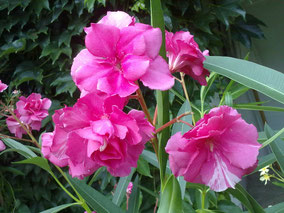 OLEANDER HAUS  Nerium Oleander Blue-Blanc Re D®