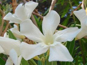 OLEANDER HAUS  Nerium Oleander Gotsis Selene
