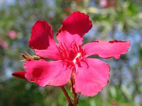OLEANDER HAUS  Nerium Oleander Gotsis Kilix