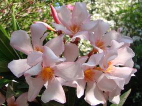OLEANDER HAUS  Nerium Oleander Gotsis Akamas