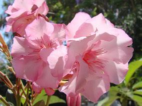 OLEANDER HAUS  Nerium Oleander Gotsis Helena