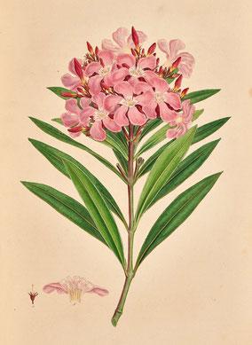 Oleander Flora Graeca