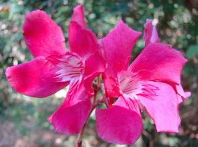OLEANDER HAUS  Nerium Oleander Gotsis Belas