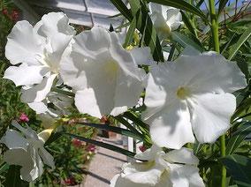OLEANDER HAUS  Nerium Oleander Mont Blanc