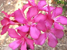 OLEANDER HAUS  Nerium Oleander Gotsis Glauke