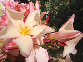 OLEANDER HAUS  Nerium Oleander Gotsis Hermes