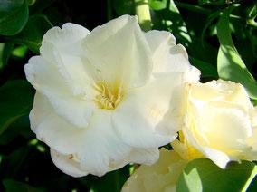 OLEANDER HAUS  Nerium Oleander Gotsis Metis