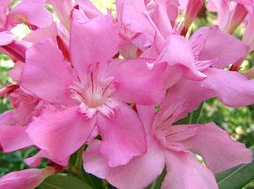 OLEANDER HAUS  Nerium Oleander Gotsis Nemesis
