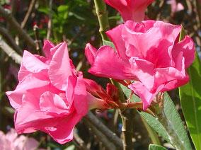 OLEANDER HAUS  Nerium Oleander Gotsis Notos