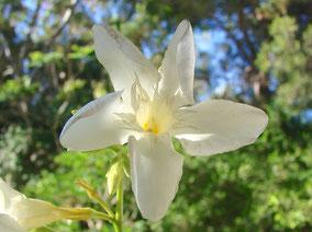OLEANDER HAUS  Nerium Oleander Gotsis Dirke