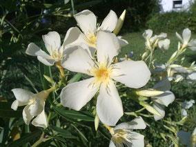 OLEANDER HAUS  Nerium Oleander Souvenir des Iles Canaries