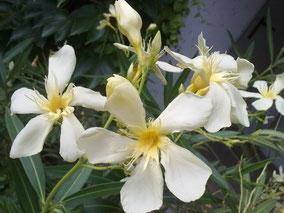 OLEANDER HAUS  Nerium Oleander Marie Gambetta