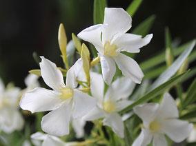 OLEANDER HAUS  Nerium Oleander Gotsis Thebe