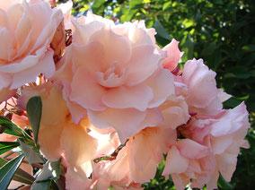 OLEANDER HAUS  Nerium Oleander Gotsis Apollo