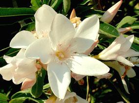 OLEANDER HAUS  Nerium Oleander Gotsis Atalante