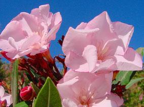 OLEANDER HAUS  Nerium Oleander Gotsis Oedipus