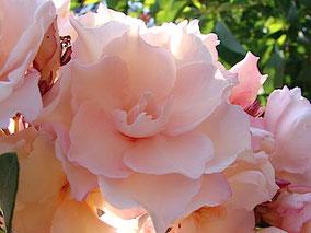 OLEANDER HAUS, Oleander, Oleander Sammlungen, Oleander aus Griechenland, Oleander Gotsis