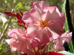 OLEANDER HAUS  Nerium Oleander Aphrodite