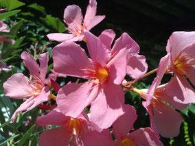 OLEANDER HAUS  Nerium Oleander Soleil Levant