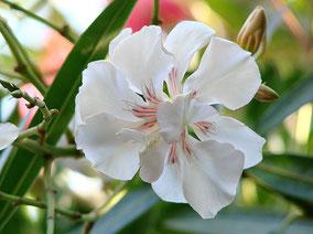 OLEANDER HAUS  Nerium Oleander Urania