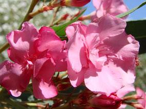 OLEANDER HAUS  Nerium Oleander Gotsis Boreas
