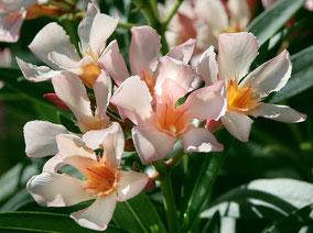 OLEANDER HAUS  Nerium Oleander Mrs. Roeding