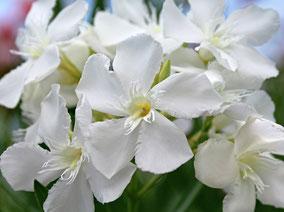 OLEANDER HAUS  Nerium Oleander Ed Barr