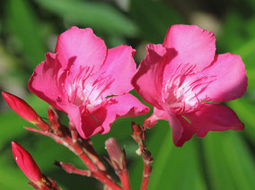 OLEANDER HAUS  Nerium Oleander Calypso