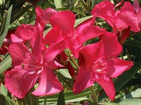 OLEANDER HAUS  Nerium Oleander Gotsis Medea
