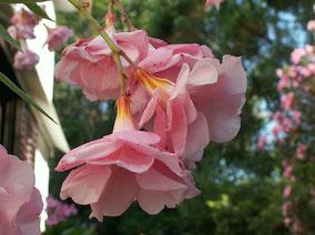 OLEANDER HAUS  Nerium Oleander Atlantis