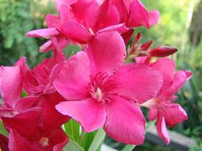 OLEANDER HAUS  Nerium Oleander Ikaros