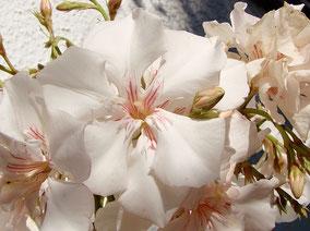 OLEANDER HAUS  Nerium Oleander Gotsis Urania