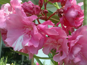OLEANDER HAUS  Nerium Oleander Splendens Giganteum