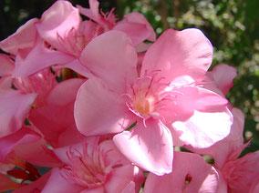 OLEANDER HAUS  Nerium Oleander Gotsis Pelops