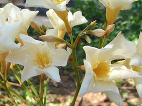 OLEANDER HAUS  Nerium Oleander Gotsis Dione