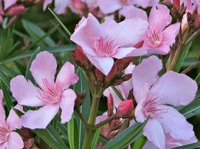 OLEANDER HAUS  Nerium Oleander  George Sealy