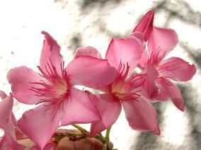 OLEANDER HAUS  Nerium Oleander Gotsis Asteria
