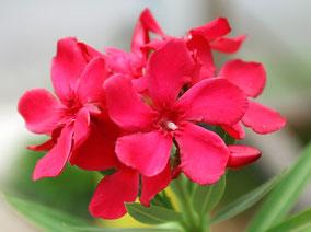 OLEANDER HAUS  Nerium Oleander Firewalker